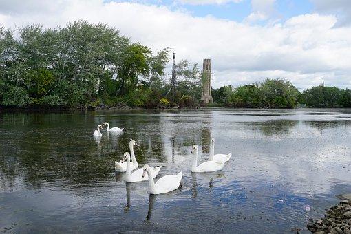 Swans, Swan, Belle Isle, Detroit, Water, Nature, Lake