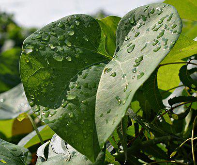 Droplets, Leaves, Leaf, Rain, Dew, Wet, Nature, Water