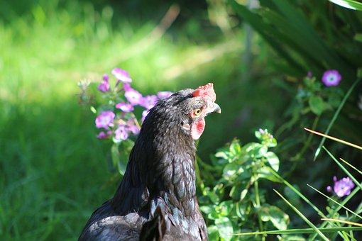 Chicken, Feather, Bird, Animal, Poultry, Livestock