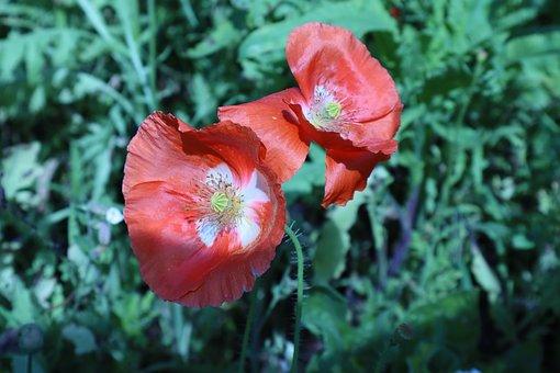 Red, Poppy, Flower, Macro, Nature, Garden, Blooming