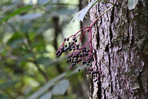 Elderberry, Tree Trunk, Forest, Nature, Bark, Autumn