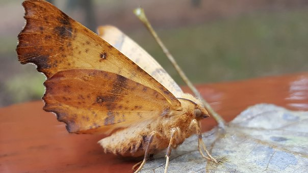 Lunar Moth, Insect, Moth, Nature, Animal, Pattern, Bug