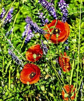 Poppy, Poppy Flower, Flower, Red, Klatschmohn, Nature