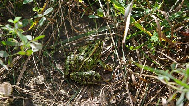 Frog, Northern Leopard Frog, Lithobates Pipiens