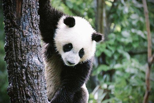 Panda, Puppy, Bear, Cute, China, Nature, Animals
