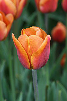 Tulip, Red, Orange, Brown, Spring, Tulips, Flowers