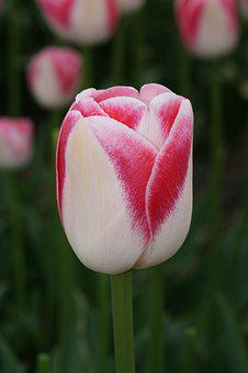 Tulip, Red, White, Spring, Cut Flower, Tulips, Flowers