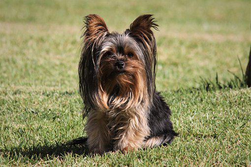 Dog, Grass, Small, Yorkshire, Terrier, Animal, Pet