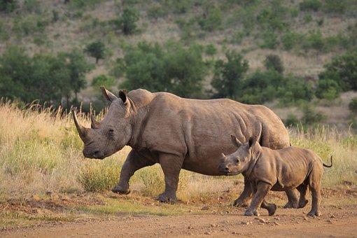 White Rhino, Calf, Mother, Young, Rhinoceros, Big 5