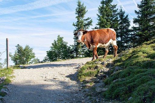Cow, Trail, Nature, Mountain, Bavaria, Almkuh, Beef