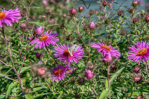 Aster, Composites, Autumn Flower, Butterfly, Garden