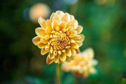 Dahlia, Flower, Blossom, Bloom, Nature, Plant, Flora