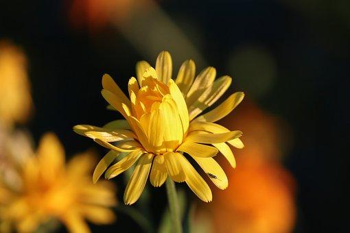 Marigold, Calendula Suffruticosa, Marigold Flower