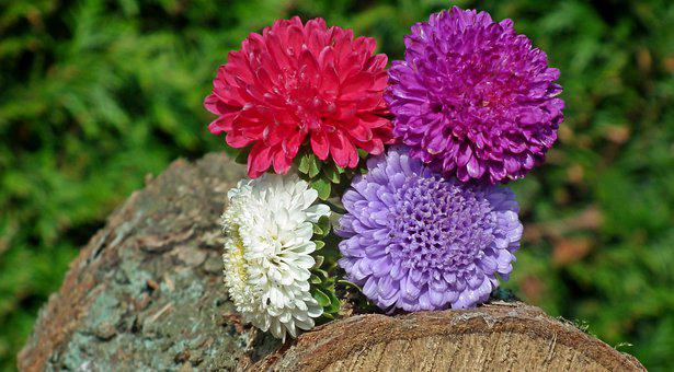 Aster Flowers, Colorful, Decoration, Garden, Summer