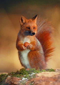 Fox, Manipulation, Compose, Animal, Portrait, Nature