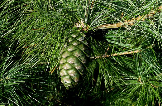 Pine, Pinus Armandii, Conifer, Cone, Summer