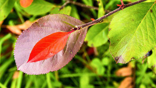 Leaves, Branch, Desktop, Chokeberry, Autumn, Colorful
