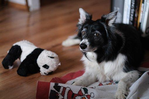 Dog, Borderská Collie, Animal, Black, Cute, Collie