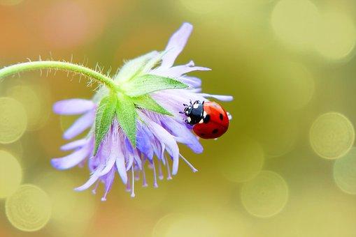 Septempunctata, The Beetle, Flower, Posts, The Petals