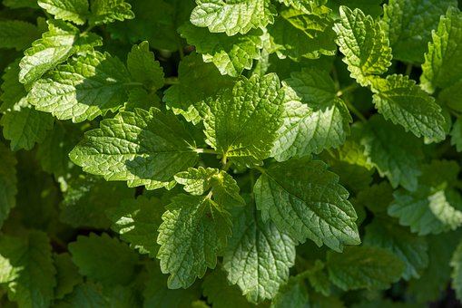 Balm, Green, Garden, Lemon Balm, Summer, Healthy, Plant