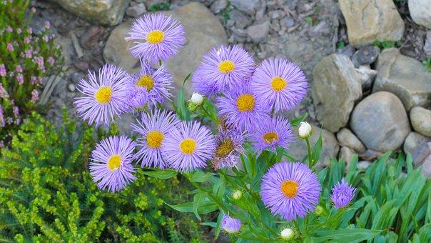 Flowers, Violet, Summer, Garden, Plant, Nature, Purple