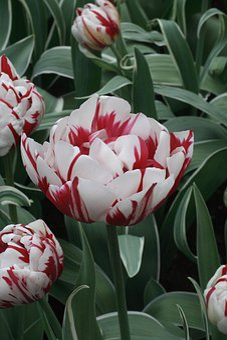Tulip, Spring, Holland, Tulips, Flowers, Garden