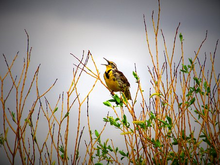 Meadowlark, Bird, Sky, Tree, Lark, Songbird, Nature