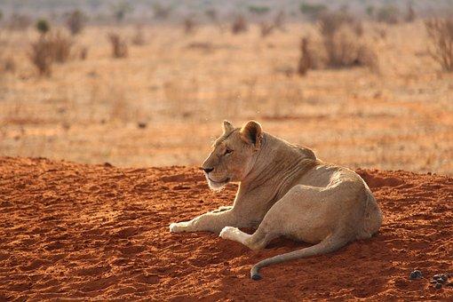 Lion, Tsavo East, National Park, Africa