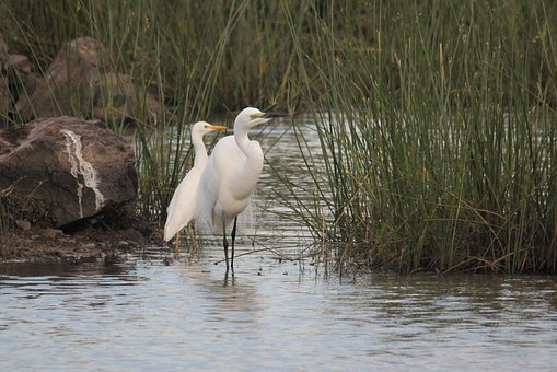 Egret, Reeds, Male, Female, Bird, Watching, Heron