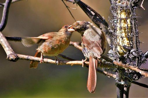 Mother Bird, Feeding Baby Bird, Bird, Cardinal, Female