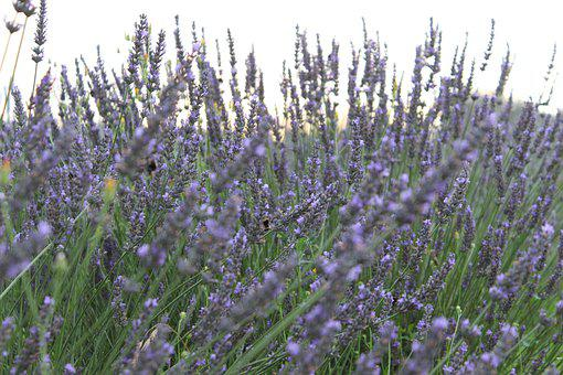 Levandula, The Smell Of, Lavender, Nature, Flowers