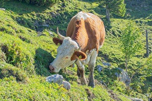 Cow, Mountain, Almkuh, Nature, Pasture, Animal, Meadow
