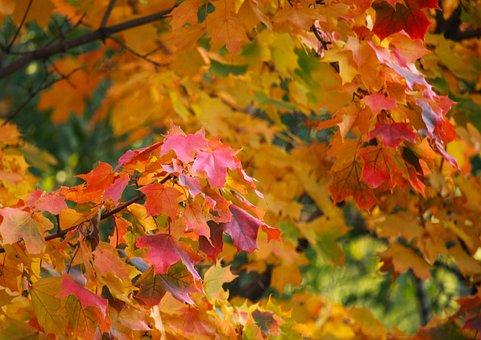 Maple, Park, Autumn, Leaves, Nature, Sheet, Tree