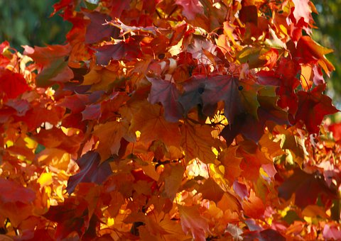 Autumn, Sheet, Leaves, Nature, Maple, Red, October