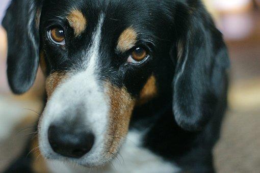 Entlebucher, Dog, Pet, Animals, Portrait, Eyes