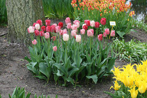Tulip, Red, Pink, White, Spring, Tulips, Flowers