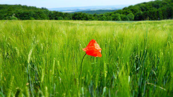 Poppy, Field, Nature, Red