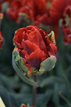 Tulip, Red, Spring, Tulips, Flowers, Garden