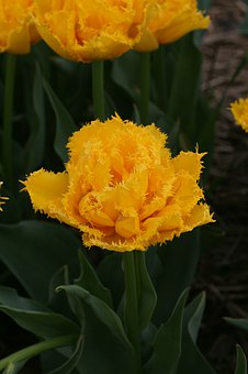 Tulip, Spring, Yellow, Numbers, Tulips, Flowers, Garden