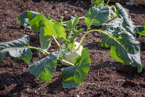 Kohlrabi, Garden, Vegetable Garden, Green, Fresh