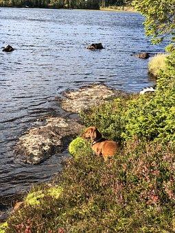 Dog, Dachshund, Animals, Lake, The Nature Of The, Water