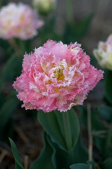 Tulip, Pink, White, Double, Numbers, Spring, Holland