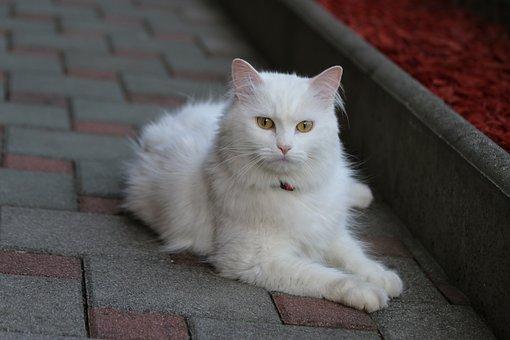 Angora Cat, White Cat, Cute, White, Cat, Pet, Animal