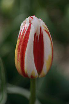 Tulip, Red, White, Yellow, Spring, Tulips, Flowers