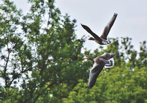 Wild Geese, Grey Geese, Goose, Birds, Flock Of Birds