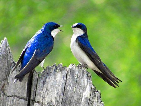 Swallow, Tree Swallow, Nature, Tree, Green, Wildlife