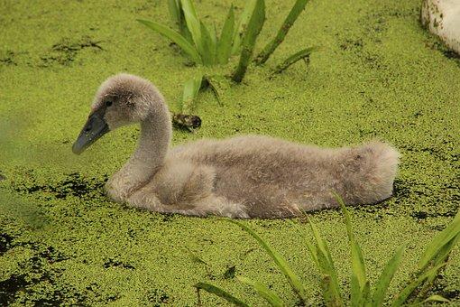 Swan, Young, Water Bird, Bird, Water, Nature, Swim