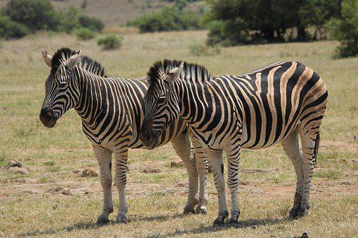 Zebra, Burchell, Camouflage, Game, Drive, Wild