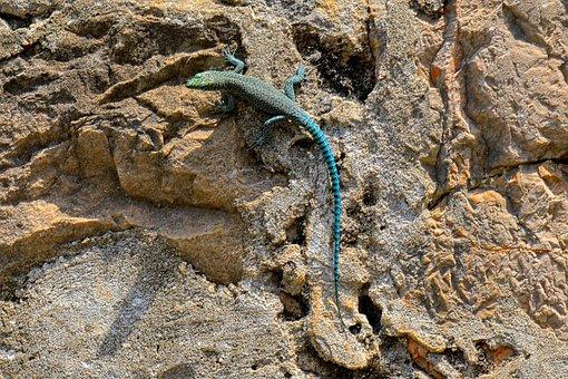 Lizard, Blue, Stone, Animal