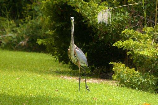 Big Bird, Staring At Photographer, Blue Heron, Heron